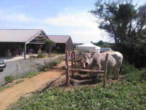 biocoop st hilaire de riez vache maraichine