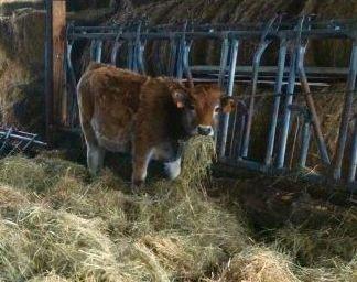 Odonis une vache pour la ZAD